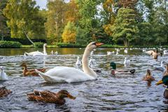 Swans and ducks in the water Stock Photos