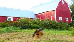 An alsatian dog chasing her tail by a Canadian barn Stock Footage