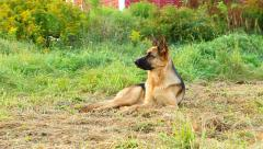 A reclining Alsatian dog gets up and chases her tail Stock Footage