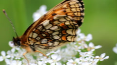 Butterfly silverspot (Argynnis)  sitting on white flower Stock Footage
