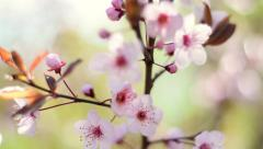 Slow motion closeup pan view of blooming pink cherry branch Stock Footage