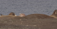 Atlantic Walruses Lazing on Sunny Arctic Beach Stock Footage