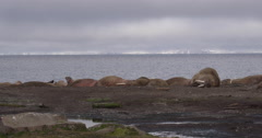 Pan of Sleeping Atlantic Walruses on Arctic Beach Stock Footage