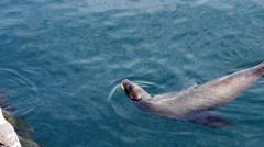 Sea Lion Swimming Near Fishing Pier Monterey California Stock Footage