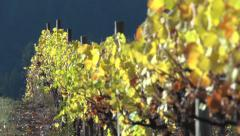 Fall Vineyard: Grapevine in Fall Colors, Rack Focus Stock Footage