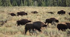 Herd of wild buffalo moving walking roaming dolly tracking shot Stock Footage