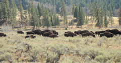 Herd of wild buffalo moving walking roaming dolly tracking shot Arkistovideo