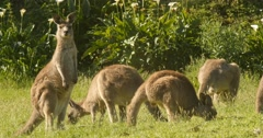Kangaroo Wallaby Marsupial Animal Eating Australia Stock Footage