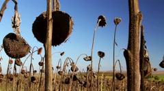 Sunflower field affected by drought - stock footage