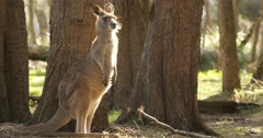 Kangaroo Wallaby Marsupial Animal Australia Stock Footage