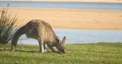 Kangaroo Wallaby Marsupial Animal Eating Australia - stock footage