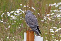 Cinereous Harrier Looking for Prey - stock photo