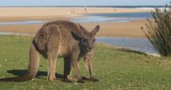 Kangaroo Wallaby Marsupial Animal Eating Australia Stock Footage