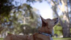 Cute Corgi Dog Catches A Treat In His Mouth Stock Footage