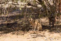 Yellow mongoose, Kalahari desert, South Africa - stock photo