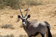 Gemsbok, Oryx gazella Stock Photos