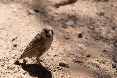 Sociable Weaver Bird at Kgalagadi Stock Photos