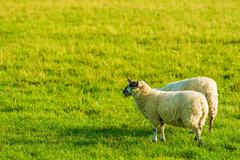 Two Adult Sheep on Green Grass. Farmland Theme. - stock photo