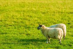 Two Adult Sheep on Green Grass. Farmland Theme. Stock Photos