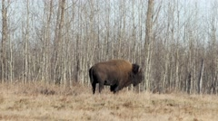 Lone Bison Bull standing beside forest in fall. Stock Footage