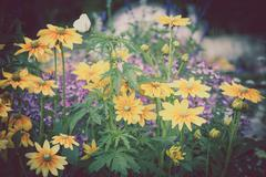 Beautiful flowerbed with yellow Rudbeckia flowers Stock Photos
