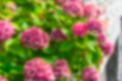Pink hydrangea flowers bush - stock photo