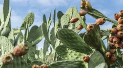 "Panning left-right shot of fruiting nopal or ""prickly pear"" cactus Stock Footage"