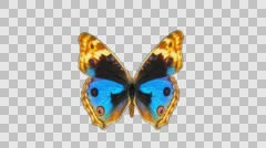 a butterfly flaps its wings close-up of an alpha channel - stock footage