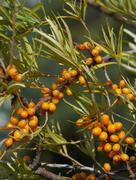 Sea buckthorn ( Hippophae rhamnoides ) Stock Photos