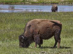 American Buffalo Bison on river bank Yellowstone Kuvituskuvat