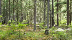 Walking in taiga forest, Altai, Russia Stock Footage