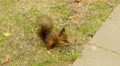 Squirrel eats the Nuts in the Park and run away Footage