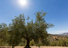 Olive trees reaching to horizon in Andalucia - stock photo