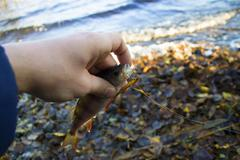 Small perch in the hand - stock photo