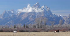 Horses in the field with Grand Teton mountains background Stock Footage