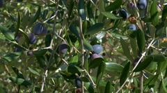 Olives on the Tree, Italy Stock Footage
