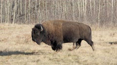 North American Bison walking on an autumn day Stock Footage