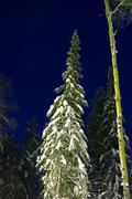 Nightly landscape of snow-bound fir-trees Stock Photos