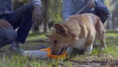 Corgi Dog Drinks From A Water Bottle/Dish Combo In Park, His Owners Pet Him Stock Footage