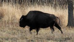 North American Bison on western prairie in fall. Stock Footage