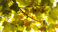 Autumn Leaves. Fall background - stock footage