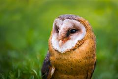 Tyto alba - Close Up Portrait of a Barn Owl Stock Photos