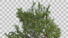 Apple Tree Red Apples Cut of Chroma Key Tree on Alfa Channel Swaying Branches Stock Footage