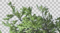 Stock Video Footage of Top of Plitvice Maple Tree Cut of Chroma Key Tree on Alfa Channel Swaying