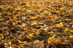 autumnal leaves of maple tree on the floor - stock photo
