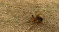 Squirrel finds the Nuts in the Ground Footage