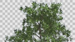 Orange Tree Crown Cut of Chroma Key Tree on Alfa Channel Branches Green Narrow Stock Footage