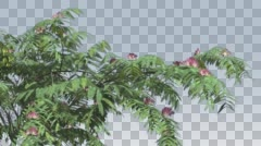 Mimosa Pink Flowers Thin Tree Cut of Chroma Key Tree on Alfa Channel Branches Stock Footage