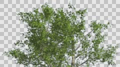 Top of London Plane Tree Cut of Chroma Key Tree on Alfa Channel Tree is Swaying - stock footage