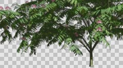 Mimosa Thin Tree With Pink Flowers Spring Cut of Chroma Key Tree on Alfa Stock Footage